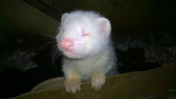 8 week old Ferret by YoungGrandad