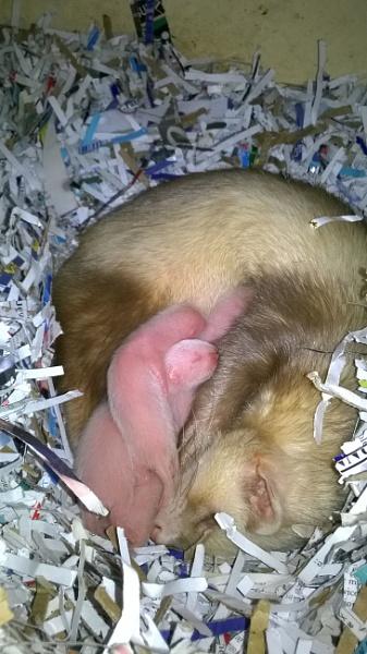 6 baby Ferrets 6 days old (born Fri. 5/8/2016) by YoungGrandad