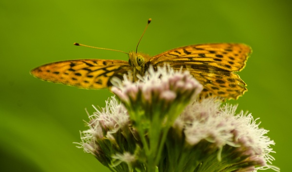 High Brown Fritillary. by hughsey
