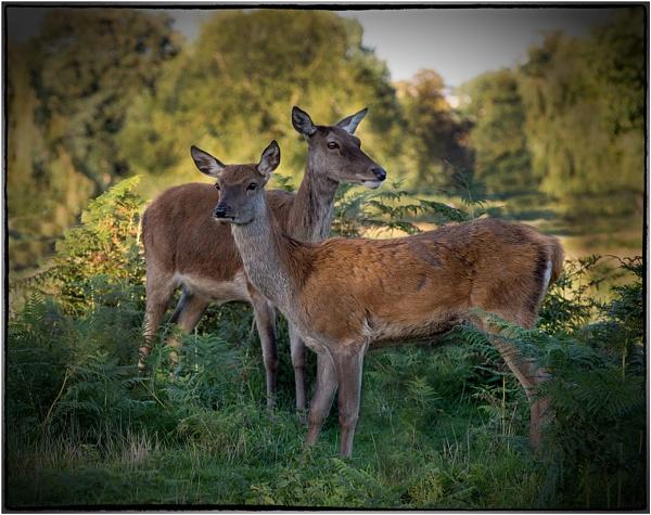 Red Deer by hasslebladuk