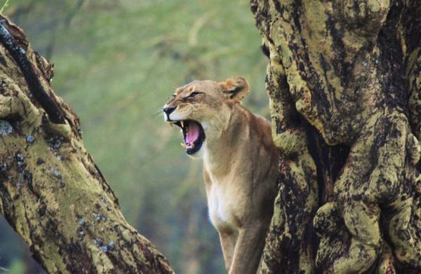Lion  by Dannielle