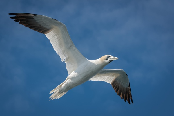 Gannet in Flight by jasonrwl