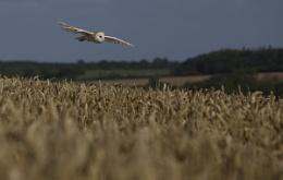 Barn Owl flight - following the