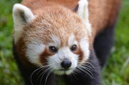 Red panda at South Lakes