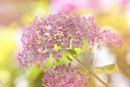 Hydrangea arborescens 'Invincibelle Spirit' by jackyp
