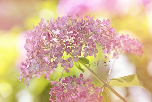 Hydrangea arborescens \'Invincibelle Spirit\' by jackyp