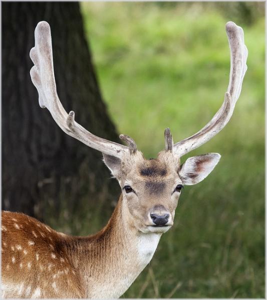 Fallow Deer by DicksPics