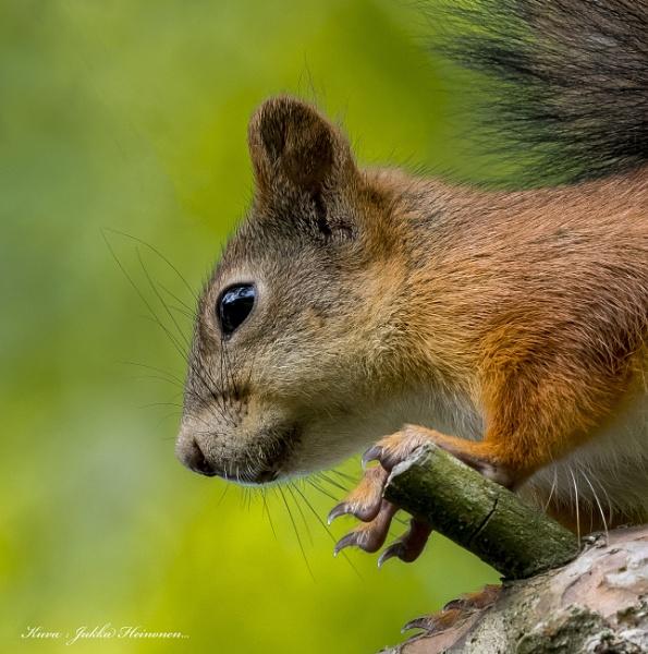 Squirrels - 2. by kuvailija