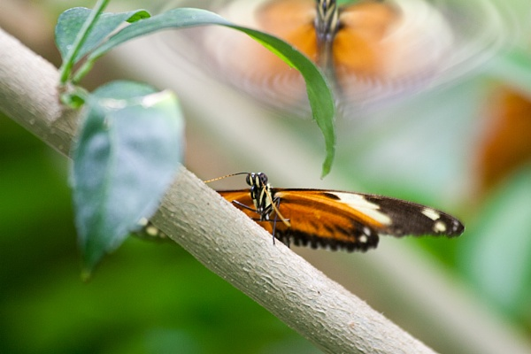 Mating Butterflys by simont