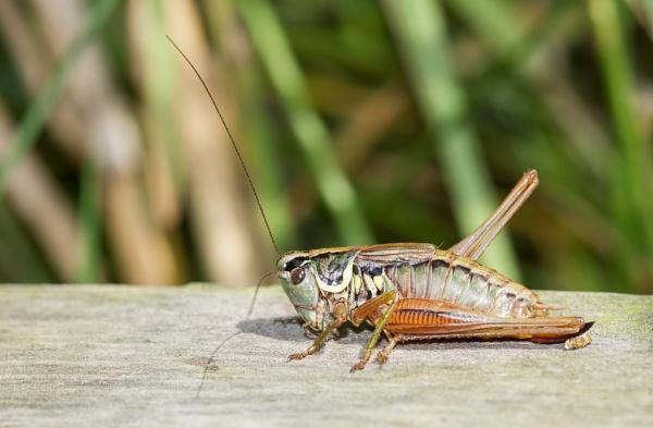 Roesel Bush Cricket by ali63