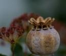 Poppy Head by shakeyhands