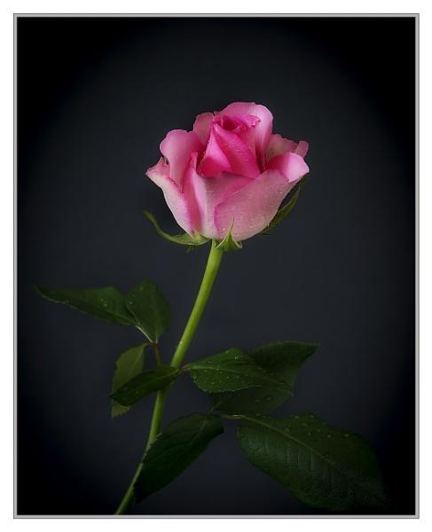 Pink Caress by Cynog