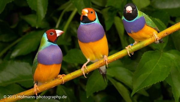 Gouldian Finch by drbird