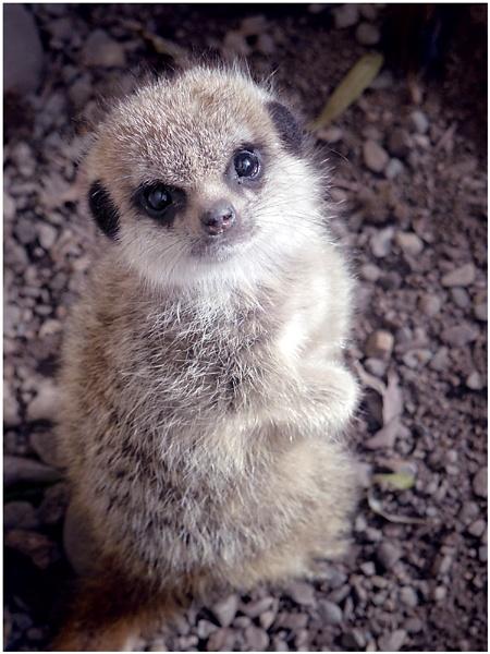 Baby Meerkat by johnriley1uk