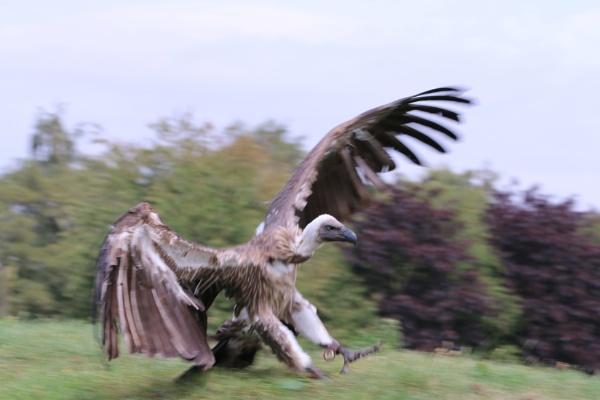 Vulture by Paintersmate12