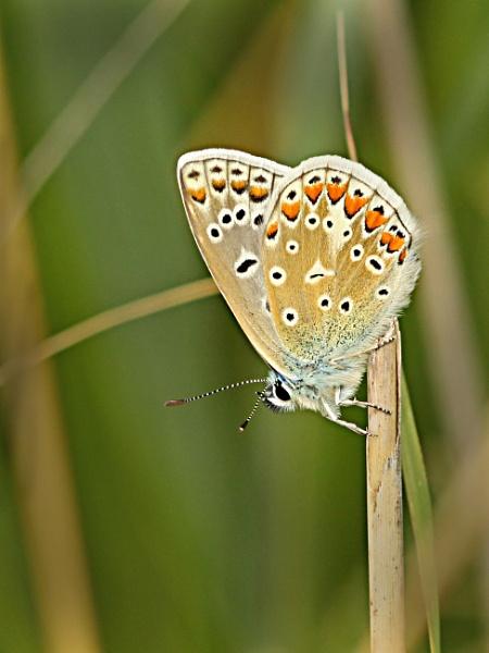 Chalkhill Blue--Lysandra coridon. by bobpaige1