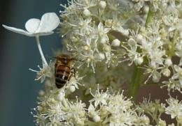 Bee on white hydrangea