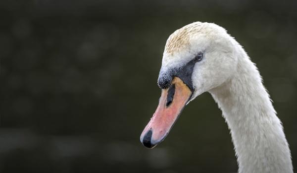 Mute Swan by dlm71