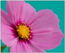 Cosmos Flower by EddieAC