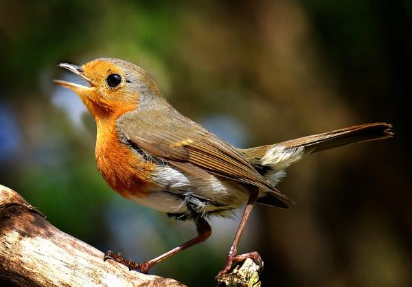 "\""Songbird\"". by adrianedwa"