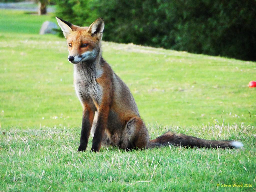 Fox on the 9th