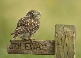 Little Owl........Wild