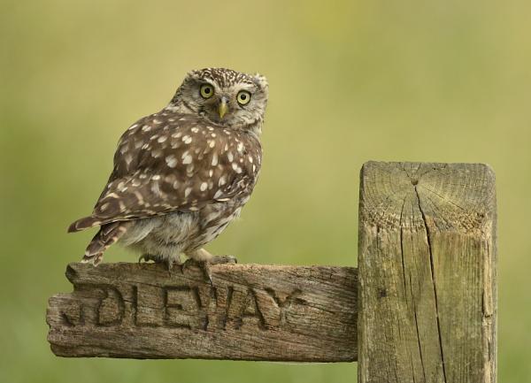 Little Owl........Wild by KBan
