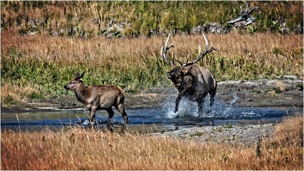 Elk by dven