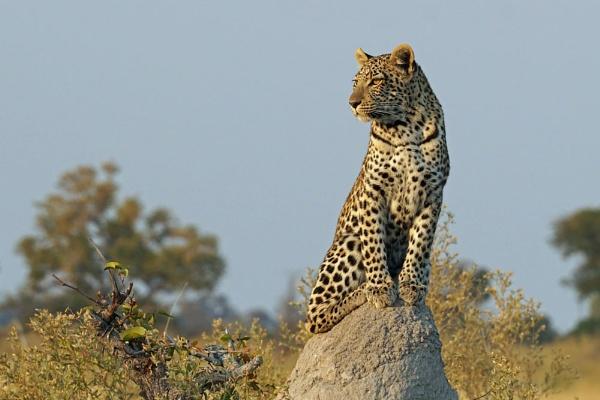 Leopard cub by jinstone