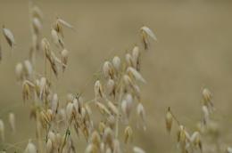 Golden Grains