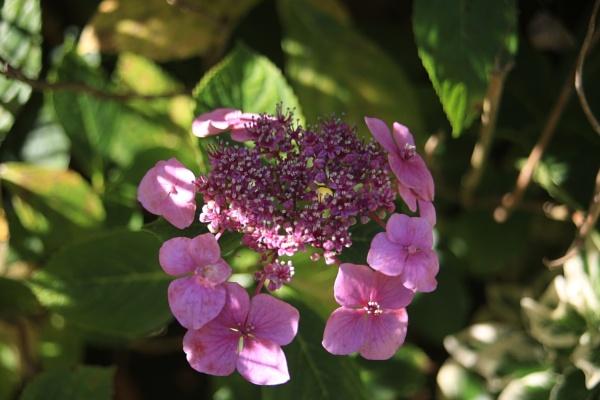 Hydrangea by brianwakeling