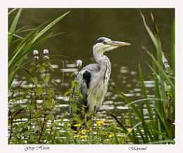 Grey Heron (aka Old Bill)