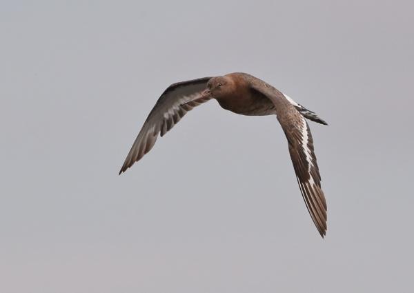 Godwits in Flight by NeilSchofield