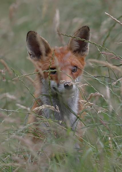 Fox Portrait by NeilSchofield