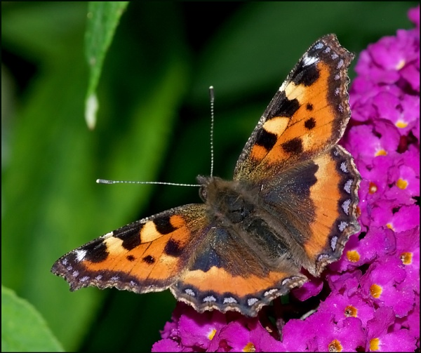 Small Tortoiseshell- Aglais-urticae. by Badgerfred
