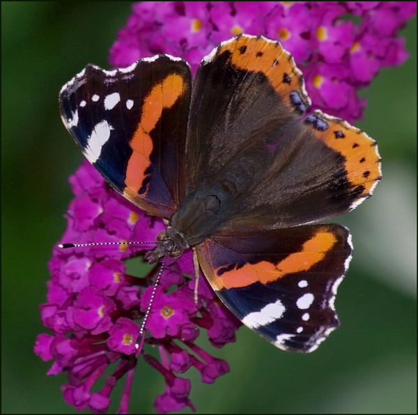Red Admiral-Vanessa atalanta 02. by Badgerfred