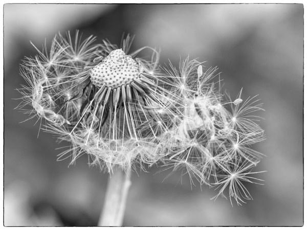 Dandelion head. by franken