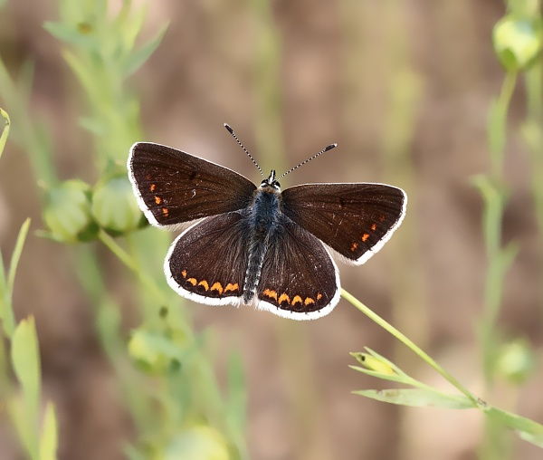 Brown Argus by bluetitblue