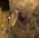 Green Woodpecker Great pose by PIXELLENCE