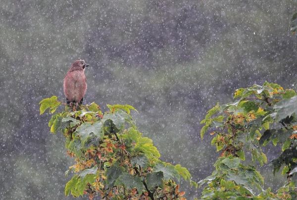 Jay in Rain by Bigdenbo