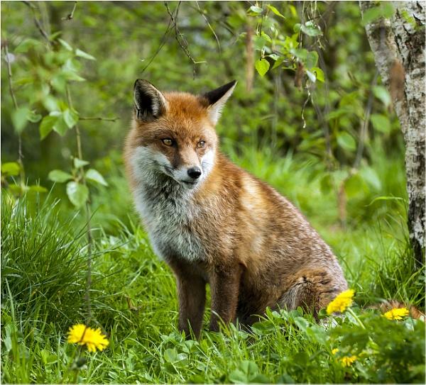Red Fox by hasslebladuk