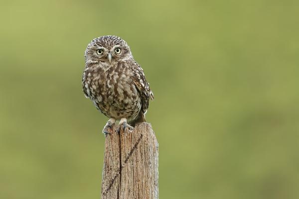 Little Owl by Louise_Morris