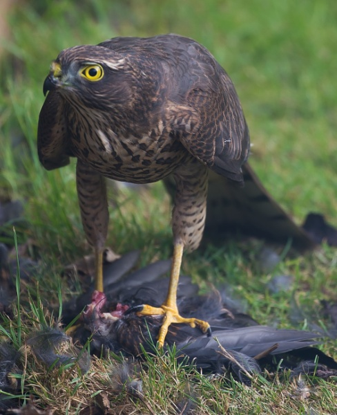 SPARROWHAWK by davsamp