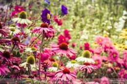 Blooming at Wisley