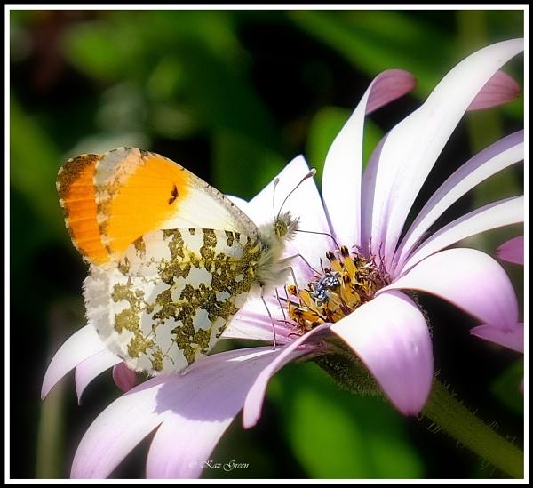 Orange Tip Butterfly (m) by kaz1