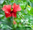 Hibiscus  by simont