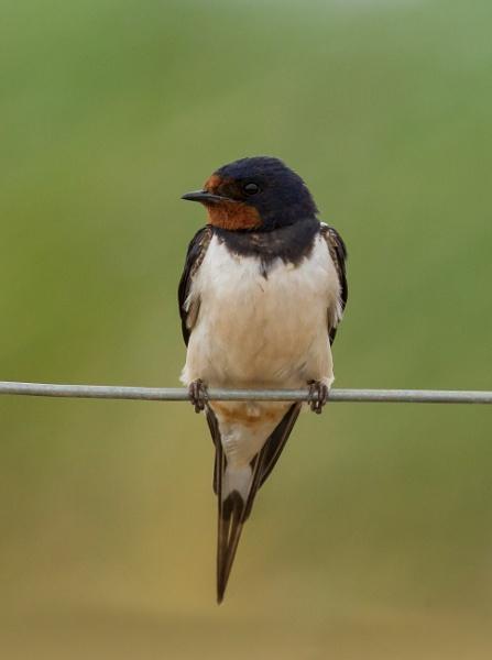 Swallow by ali63