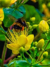 Bumble Bee On St John's Wort