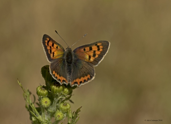 Small Copper (1) 2016 by ade123