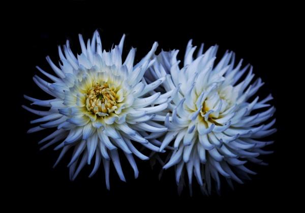 Chrysanthemum...... by Mollycat